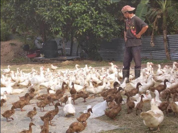 Itik Telur -Khaki Campbell, Itik Daging -Muscovy, Serati, Nila ,Pembekal Anak Itik