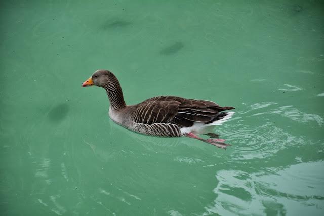 Cascada Barcelona goose