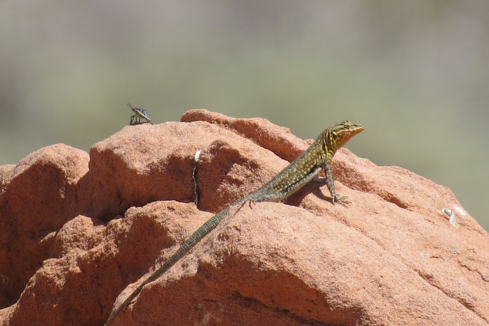 Valley of Fire State Park lizard