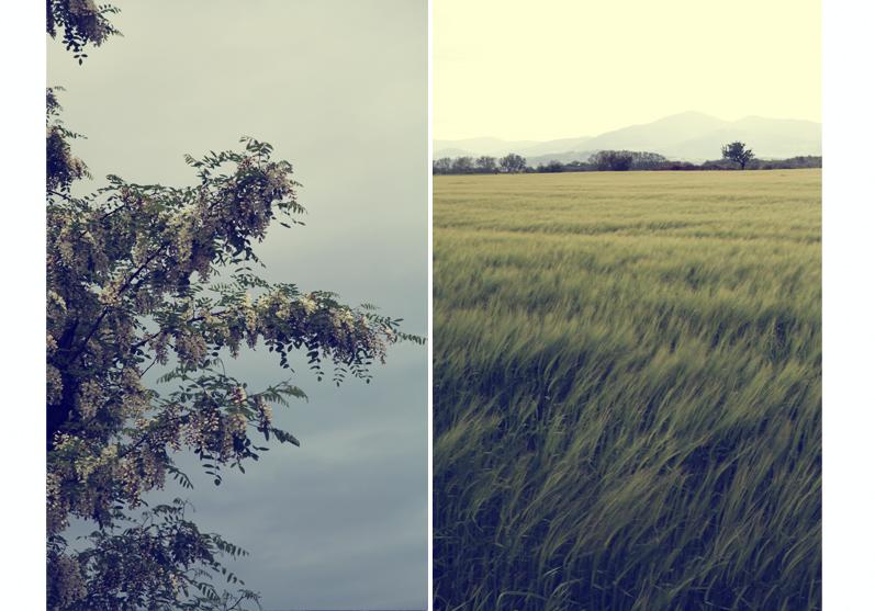 fleurs d'acacia champs de blé