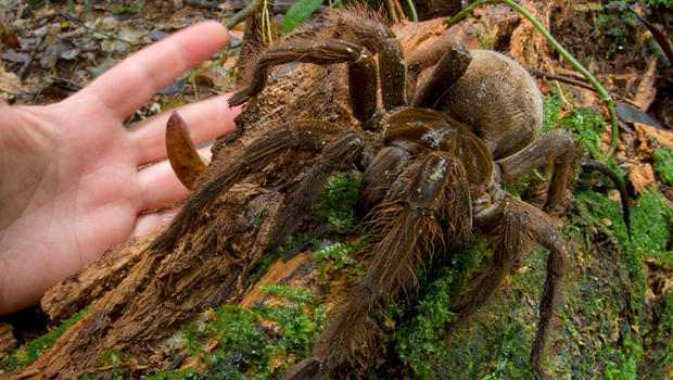 Puppy-Sized Giant Spiders Surprises Scientist in Rainforest