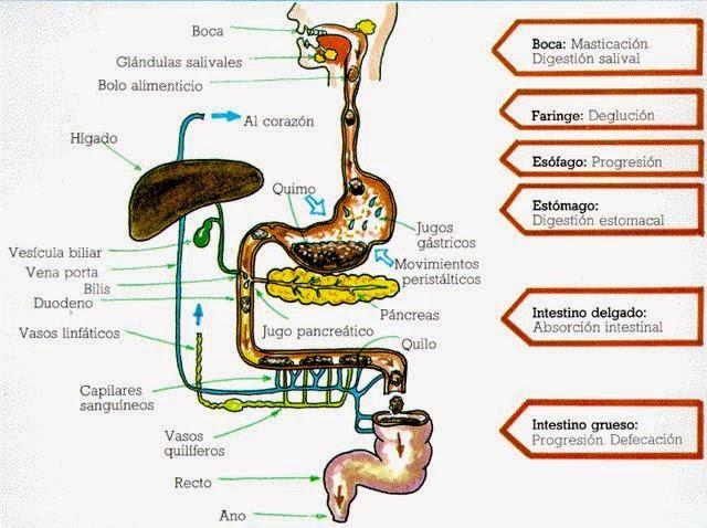 Bacterias Actuaciencia Cunto tiempo tarda la comida en recorrer