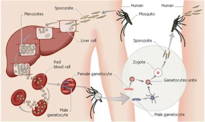 Mencegah Malaria