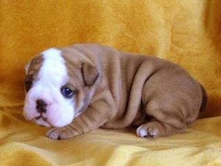 Bulldog Cachorros, parte 5