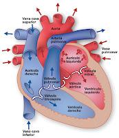cavidades corazon, ventriculo y auricula