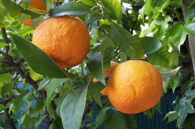 Bitter Orange (Citrus Aurantium) Overview, Health Benefits, Side effects