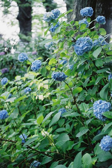 vivid blue hydrangeas