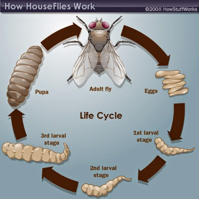 Strepsiptera Life Cycle