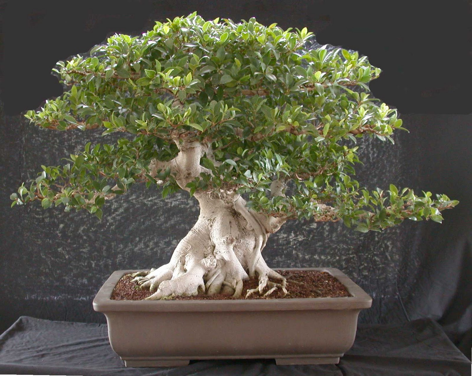 Multinotas decoraci n de interiores con bonsai for Bonsais de interior