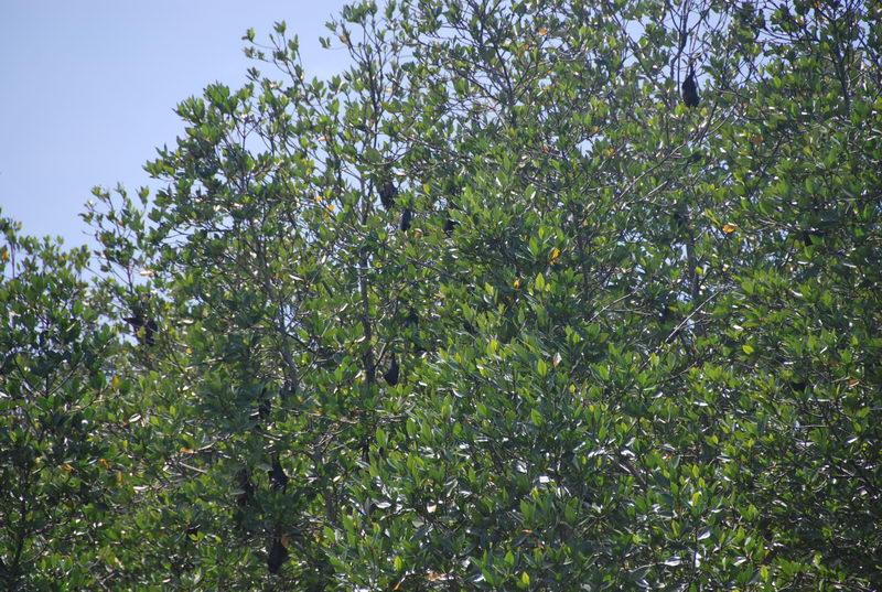 Đầm Dơi, nơi có hàng ngàn con Dơi trú ngụ trên rừng Đước
