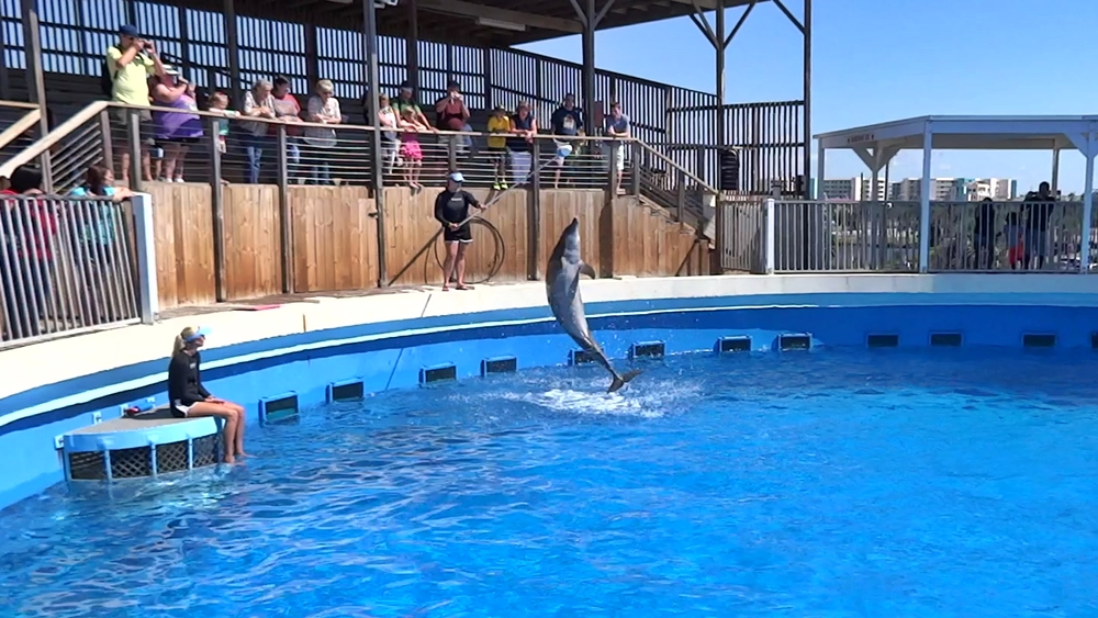 Delfin springt durch Reifen im Gulfarium, Marine Adventure Park in Fort Walton Beach, Florida USA