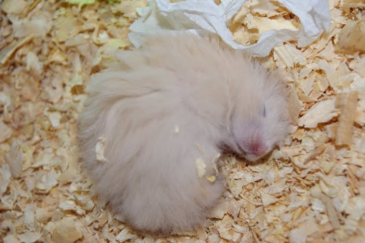 ... been a blog fan but since i ve got my long haired teddy bear hamster