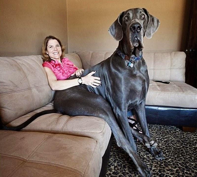 Resultado de imagem para maior cachorro do mundo
