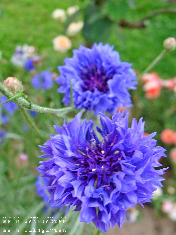 mein waldgarten blau und die sprache der blumen. Black Bedroom Furniture Sets. Home Design Ideas
