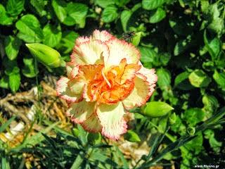 Λουλούδια που σπέρνουμε το φθινόπωρο