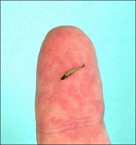 Ikan Terkecil Di Dunia