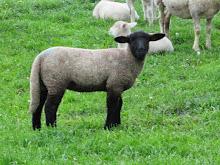 Willkommen schwarze Schaf