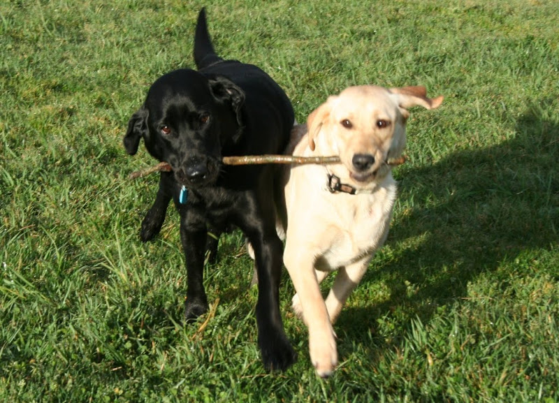 black lab dagan and yellow lab puppy katra holding ends of a stick and walking side by side, they look very puppyish in their play