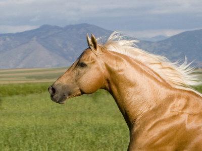 Quarter Horse Head Painting Buckskin Paint Horses Quarter