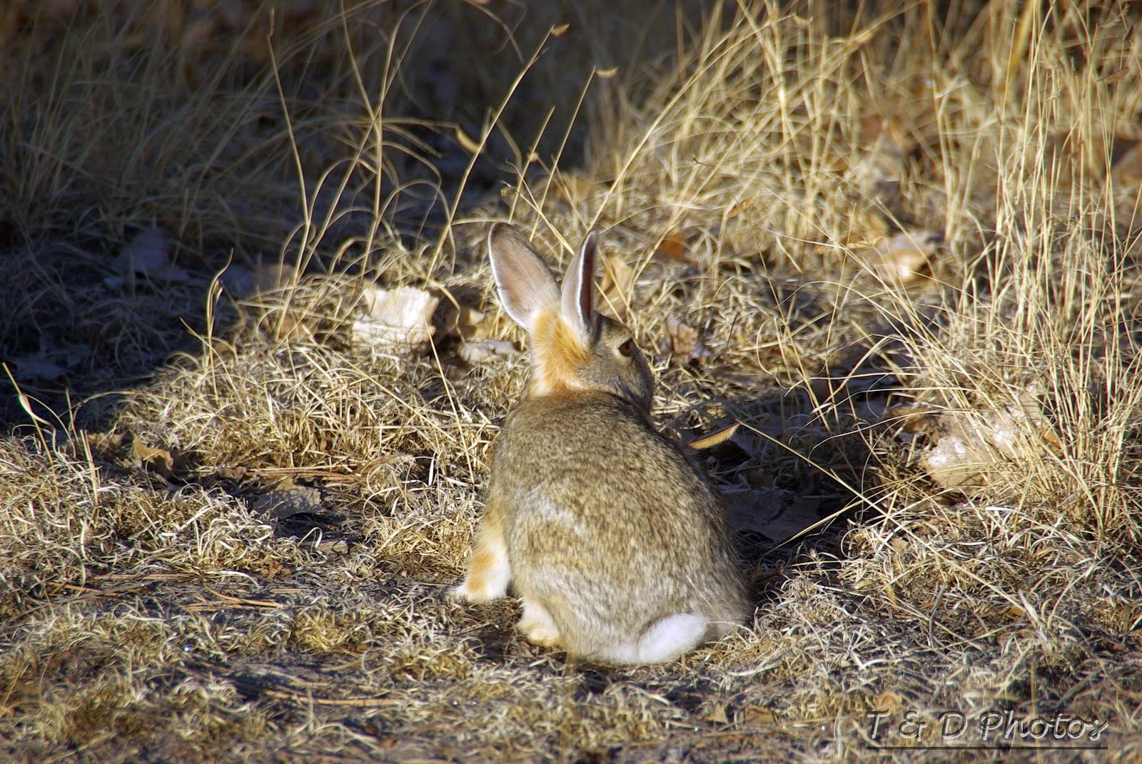 Cottontail rabbit habitat - photo#2
