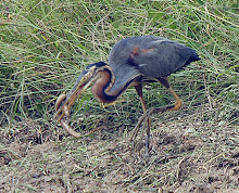Purple Heron_2011