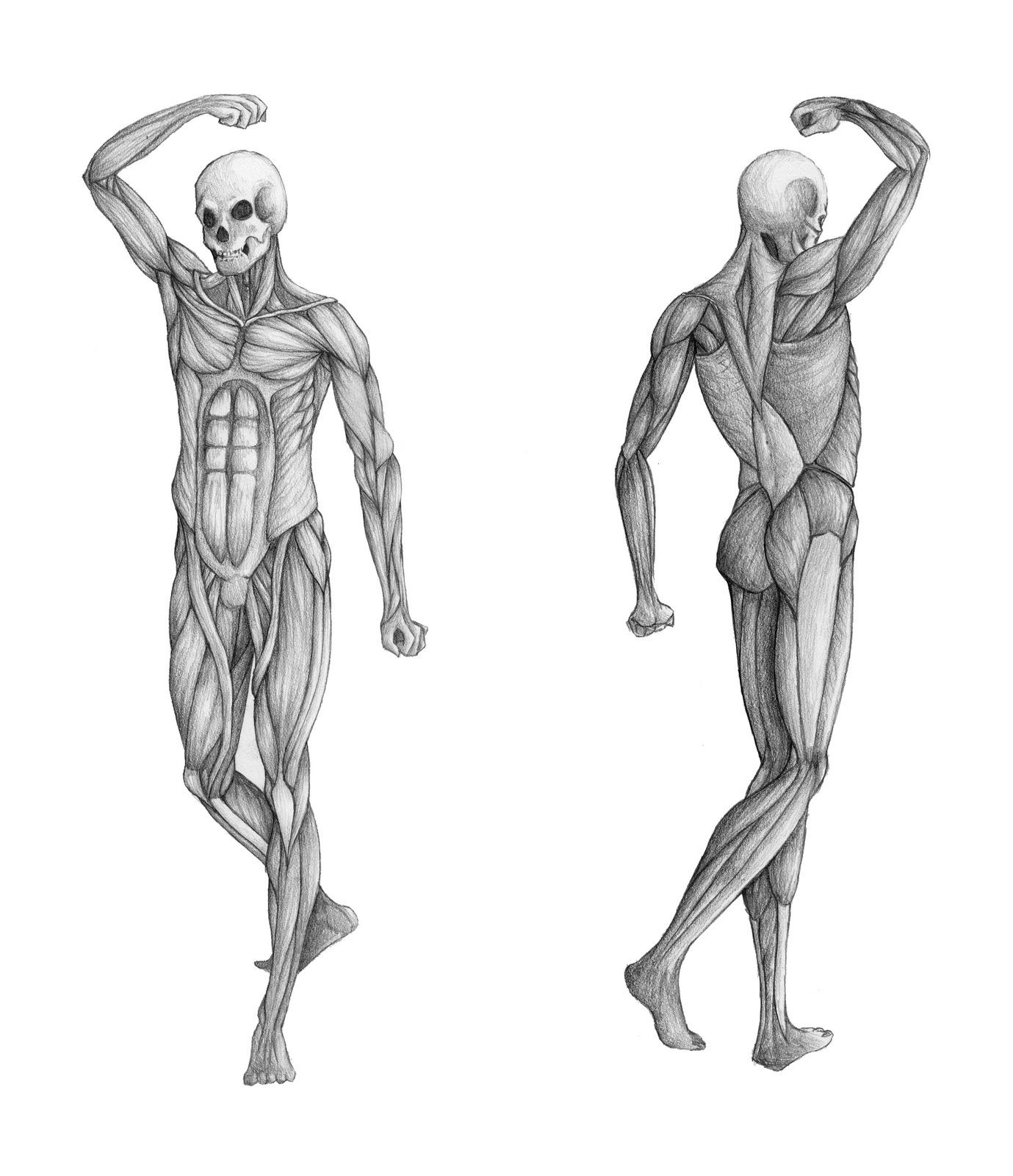 anatomy study - human | emily chiang, Muscles