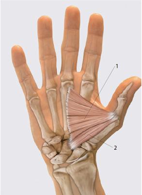 Мышца, приводящая большой палец кисти, m. adductor pollicis и m. flexor pollicisbrevis