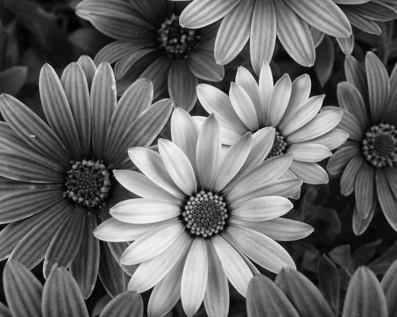 Цветы черно белое фото