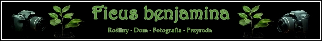 Fikus benjamina - przyroda w domu i na fotografii