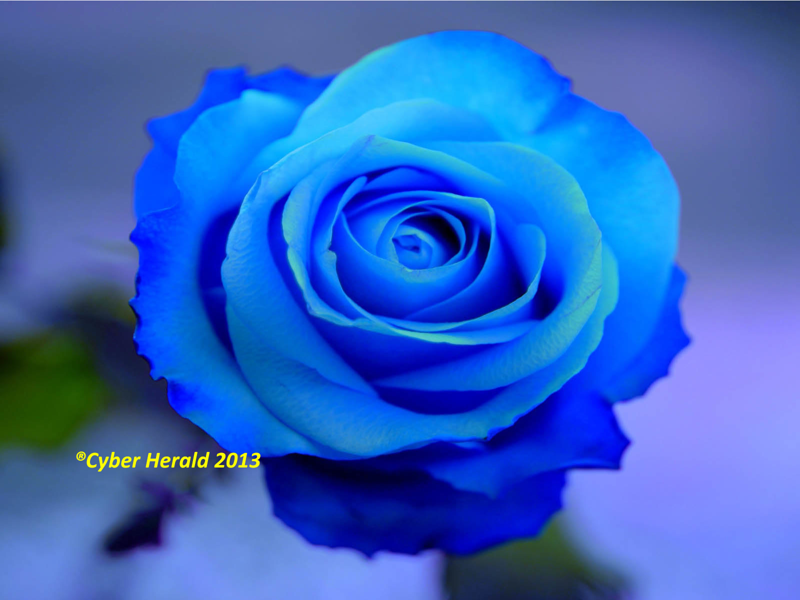 Blue color rose pic best hd wallpaper sky blue color rose images allofpicts source cyber herald rose symbolism of its colors and numbers buycottarizona
