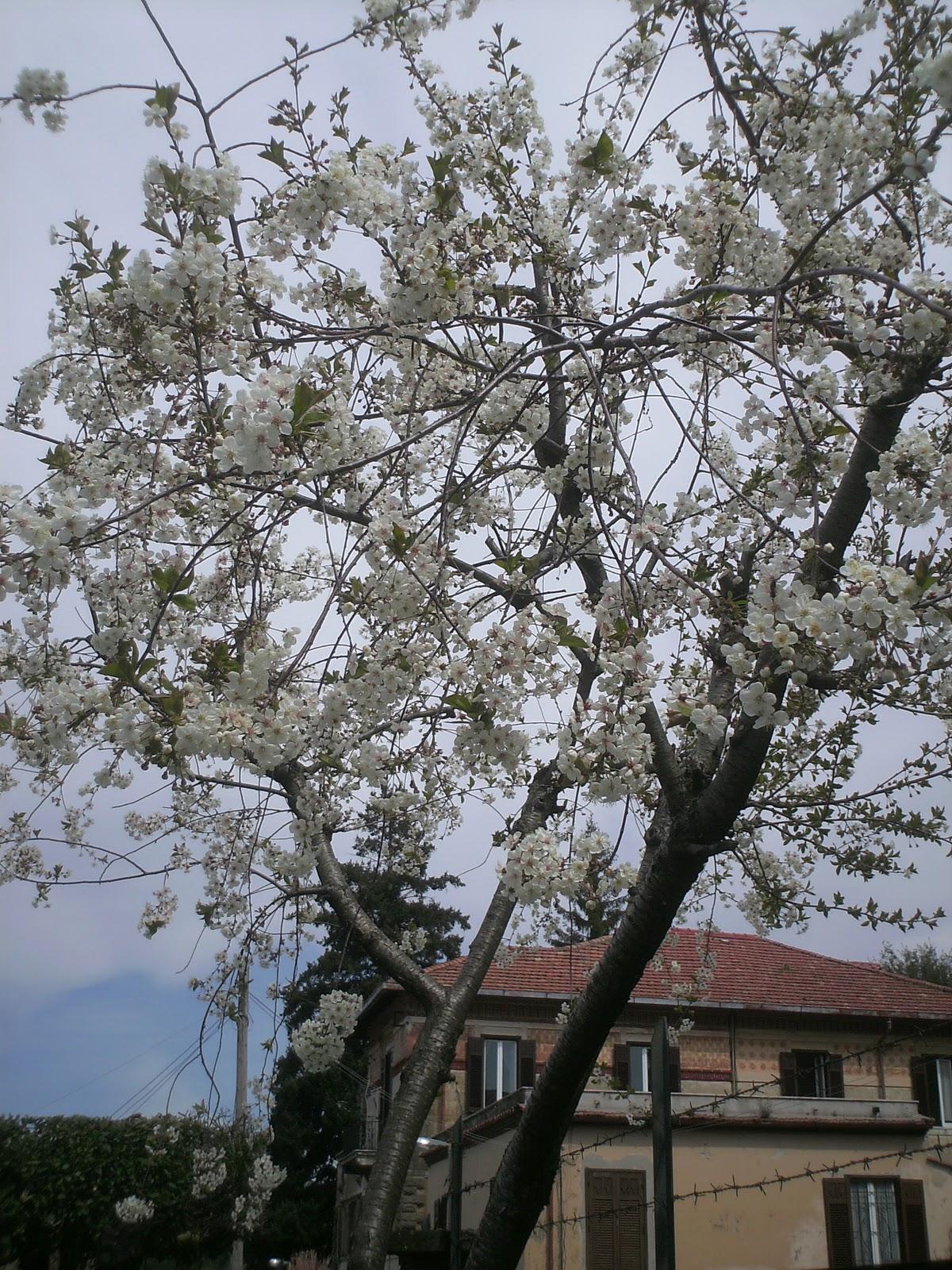 Fiori piante e giardini del mondo visciolo pianta che for Piante e giardini