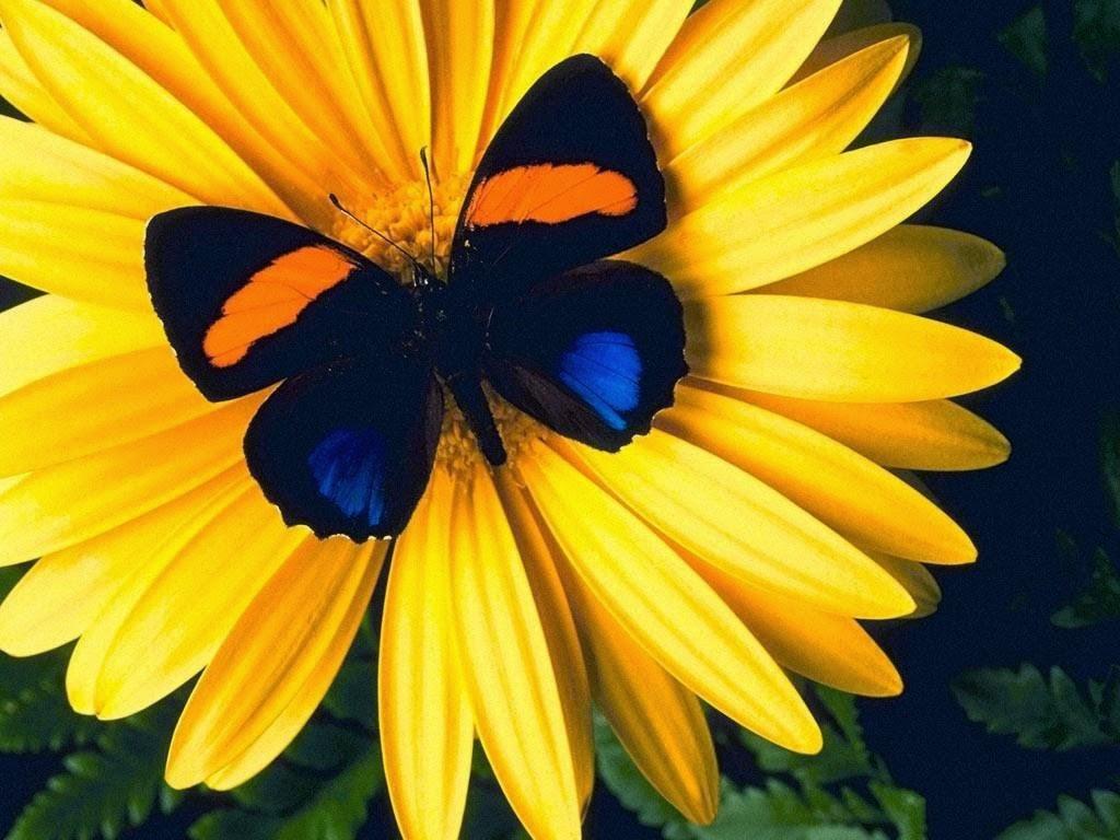 Desktop hd wallpapers free downloads butterfly in yellow for Butterfly in a flower