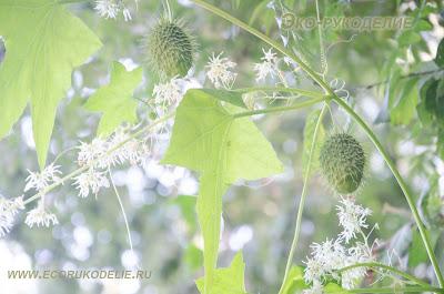 фото растения эхиноцистис
