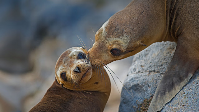 Galápagos sea lion mother and pup on Floreana Island, Ecuador (© Tui De Roy/Minden Pictures) 650