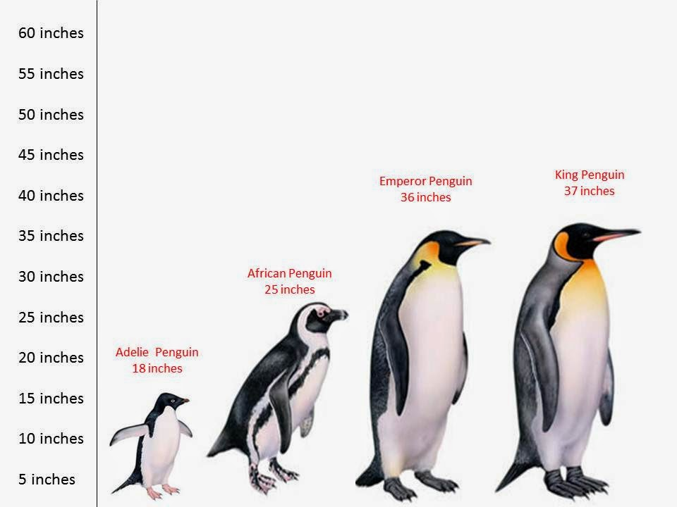 size and tall of some types of penguins