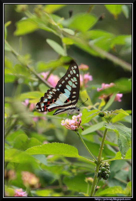 Common Jay Butterfly