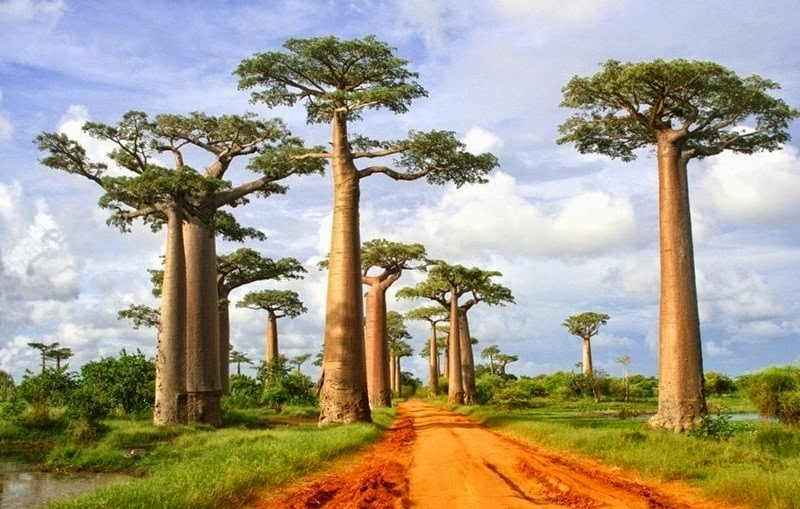Image result for Avenue of the Baobabs, Madagascar africa