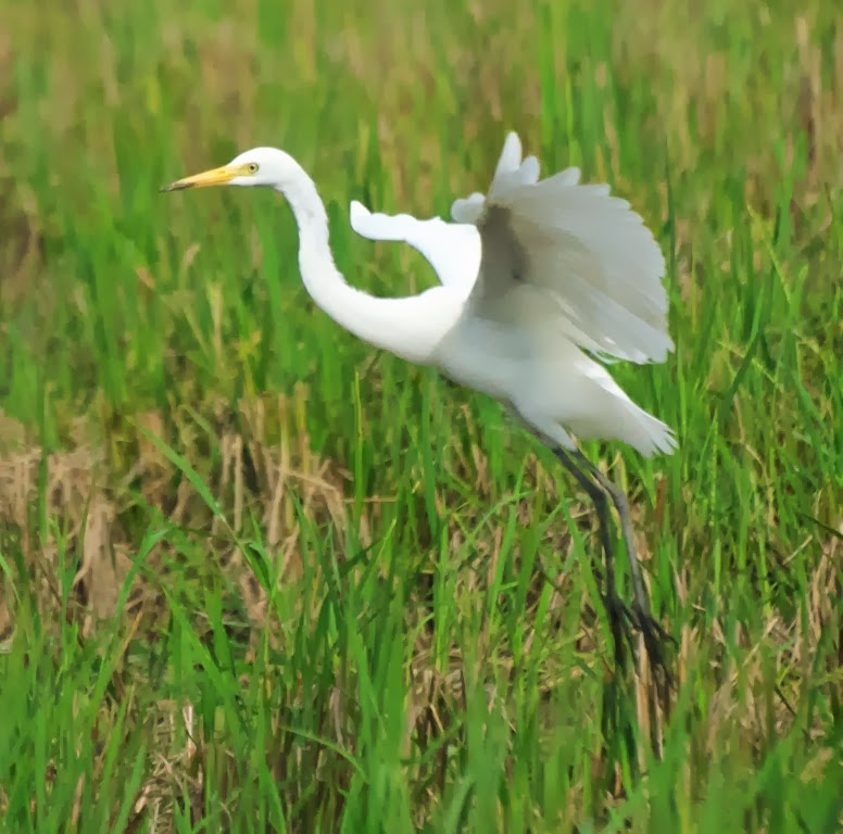 Intermediate Egret (Egretta intermedia)