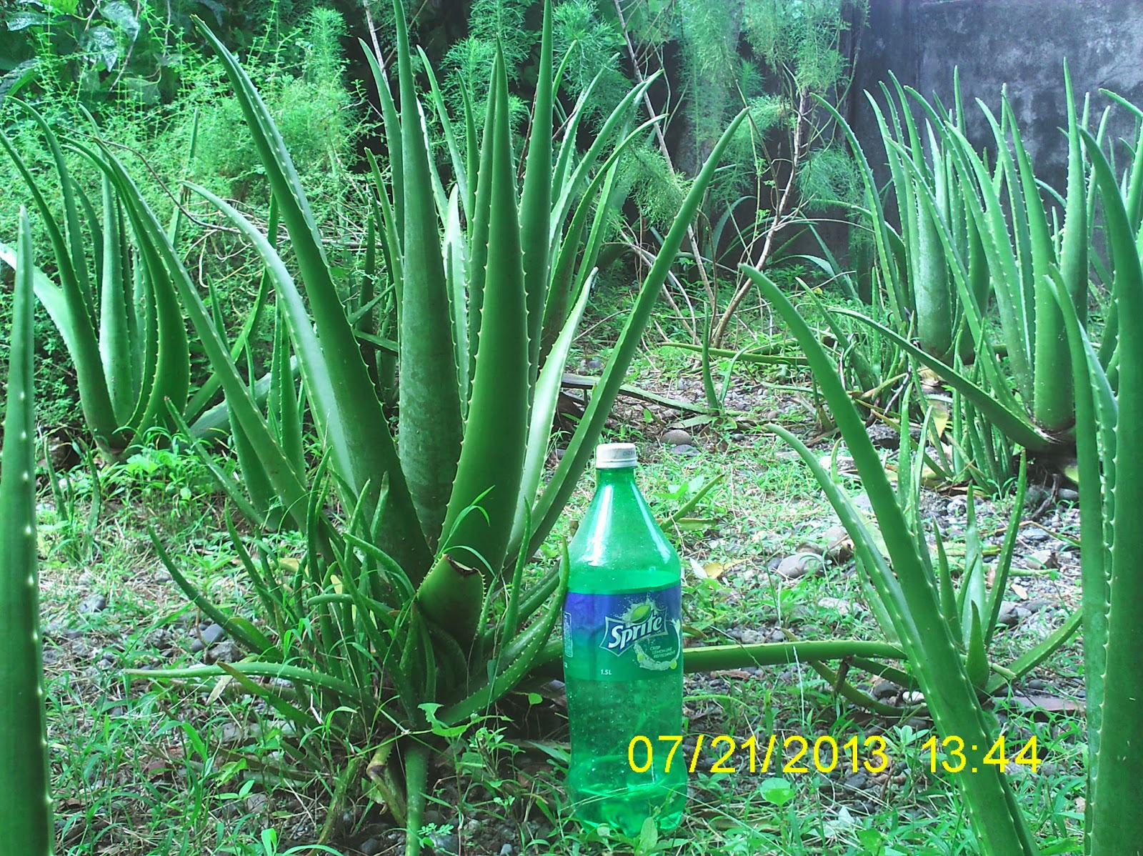 aloe barbadensis Aloe barbadensis description aloe barbadensis is also called barbados aloe it is considered one of the most potent sources of aloe and it is used in many.