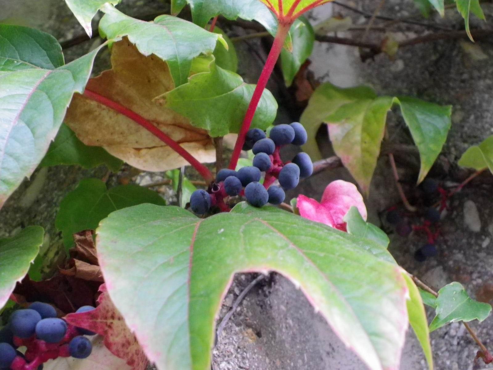 Evariste zephyrin photographer lierre grimpant for Portent fruit