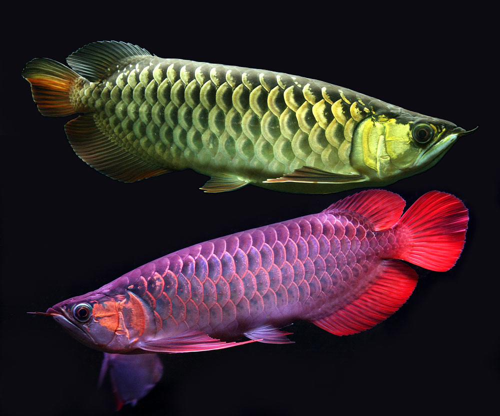 Stunning and full of color asian arowanas exotic for How to fresh water fish