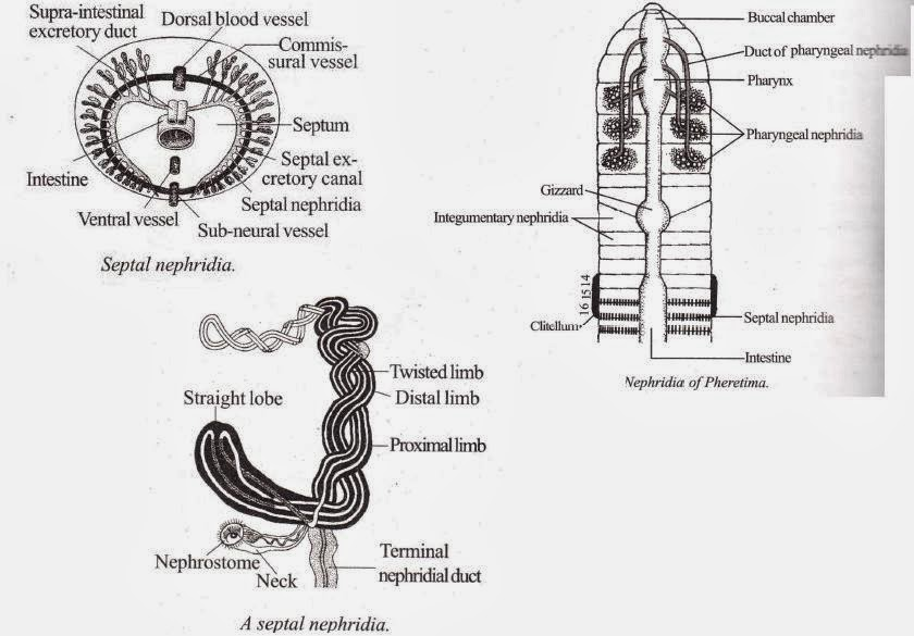 Biology Learnspot Excretory System Of Earthworm Megascolex