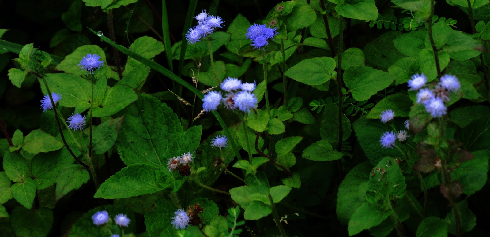 Lifefilms and nostalgia blue mist flower or wild ageratum blue mist flower or wild ageratum izmirmasajfo