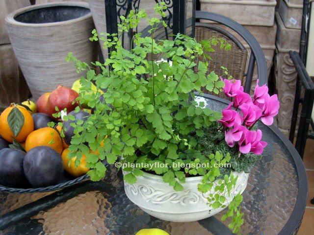 Mis helechos nephrolepis exaltata for Plantas decorativas ornamentales