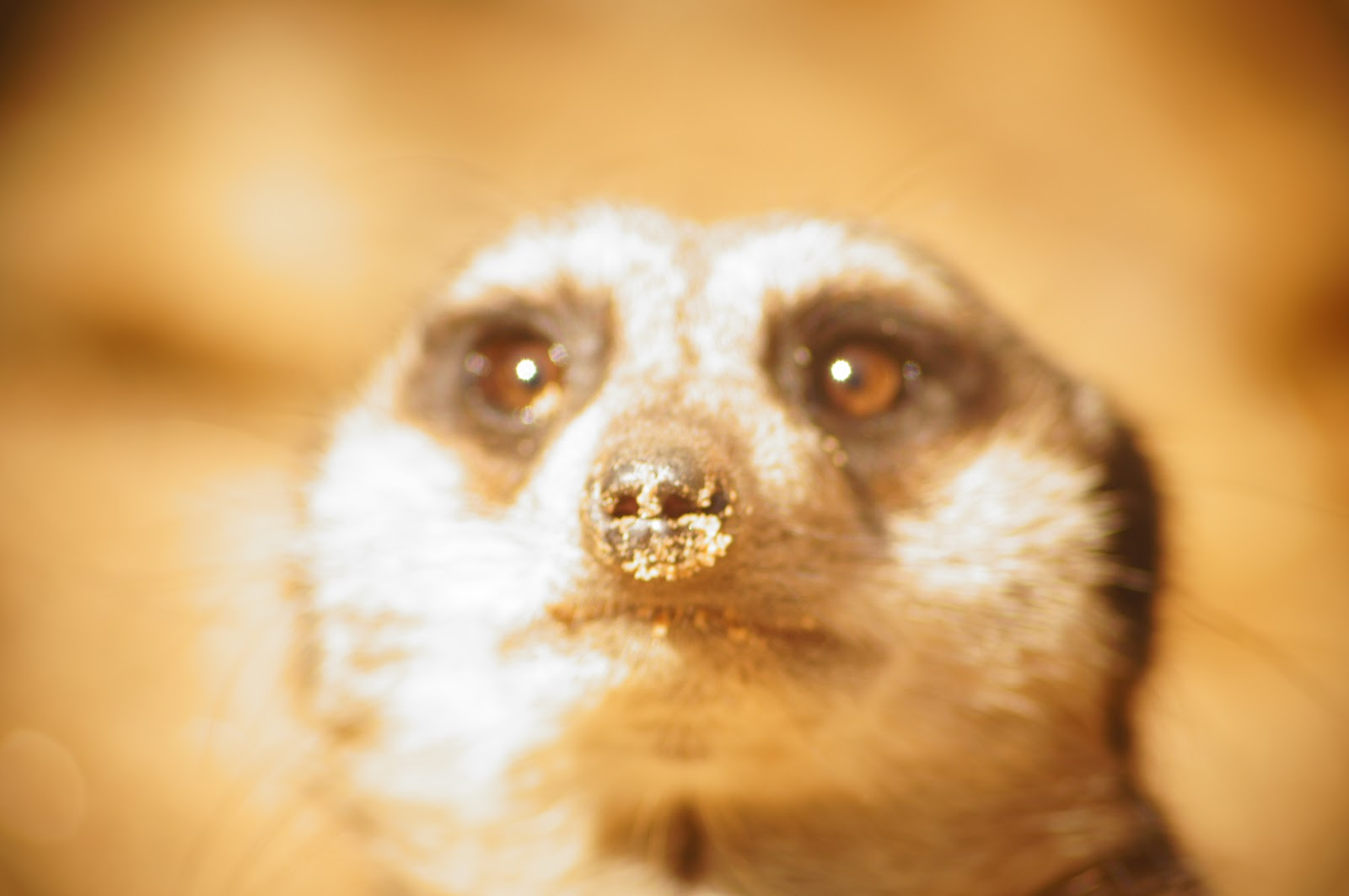 blurred picture of a meerkat