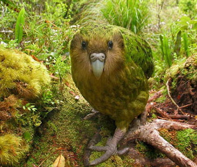 The Worlds Rarest Birds 2 001%255B3%255D Burung   Burung Terlangka Yang Ada Didunia