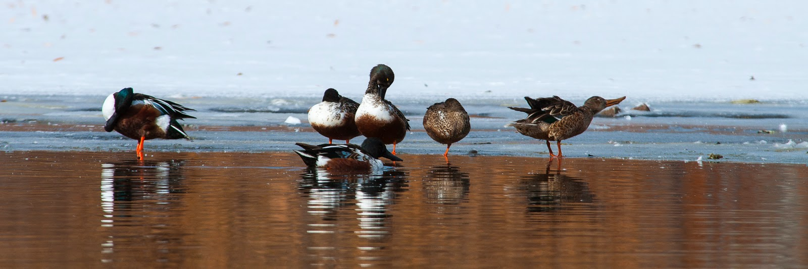 Northern Shovelers, Kountze Lake