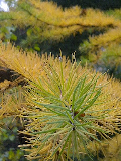Larch+Foliage-Larch+Needles