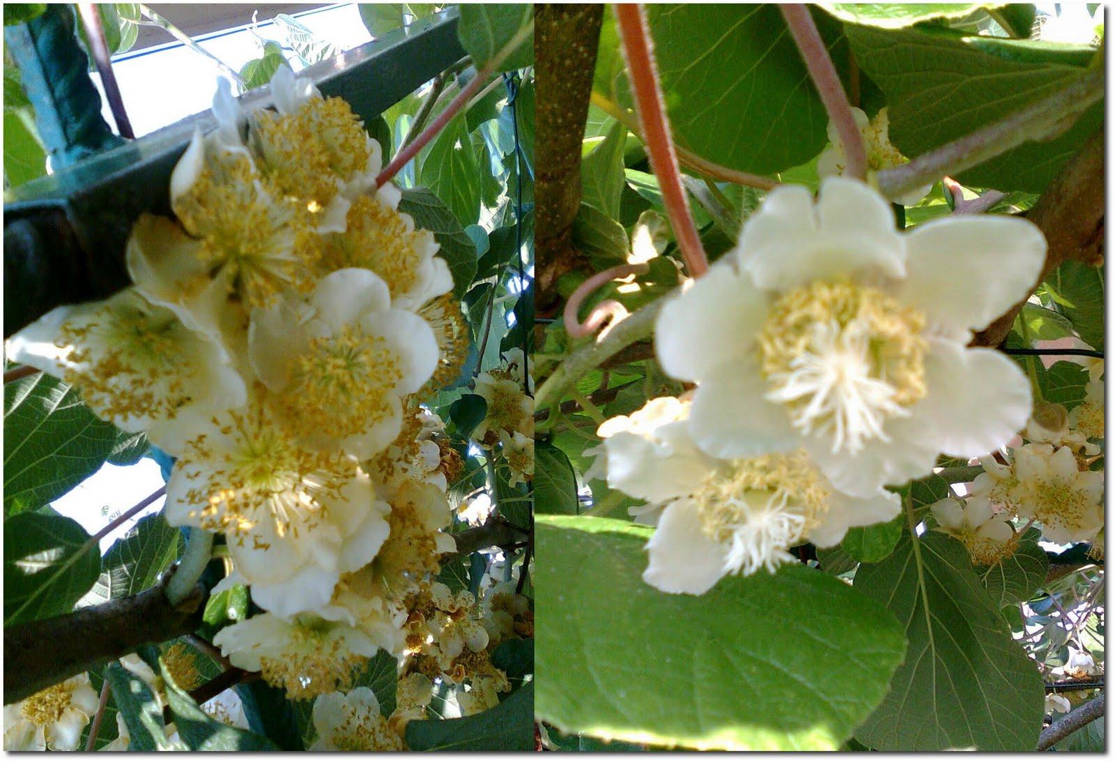 Orto per tutti piante da frutto for Kiwi pianta