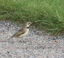SHORELARK-HILBRE ISLAND-17TH MAY 2017
